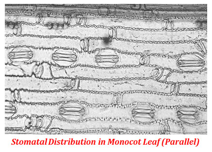 Difference between Dicot and Monocot Leaf | easybiologyclass