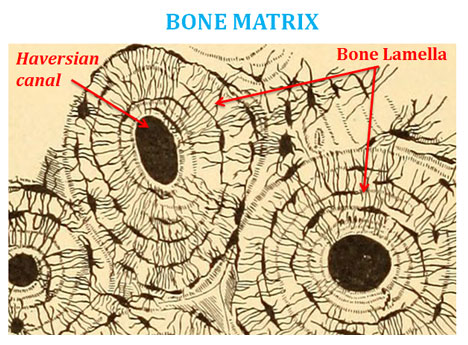 Difference Between Bone And Cartilage Easy Biology Class