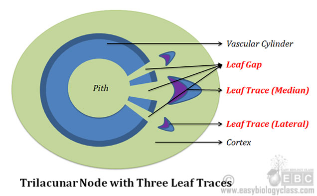 What is Trilacunar Node