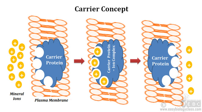 Carrier Proteins in Mineral Absorption