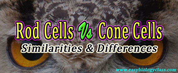 Rod cells vs cone cells