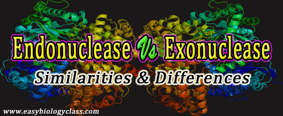 Endonuclease vs Exonuclease