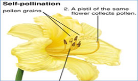 what is self pollination