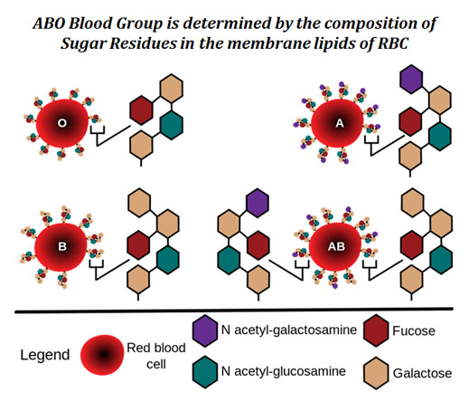 Membrane lipids and blood group