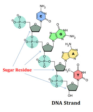 sugar of dna