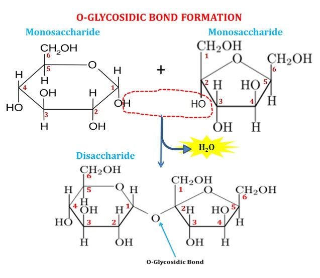 Structure of Glycosidic Bond