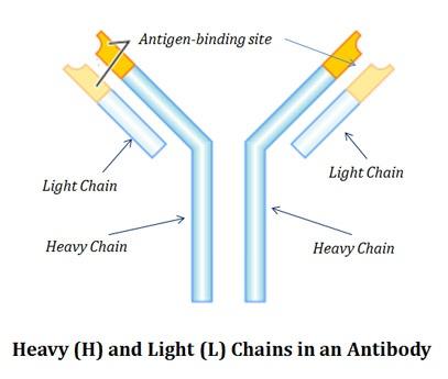 Immunoglobulin chains