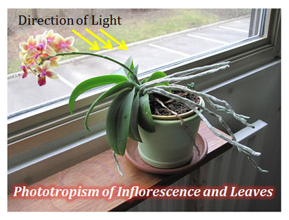 What is Phototropism