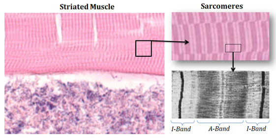 anisotropic and isotropic bands in muscles