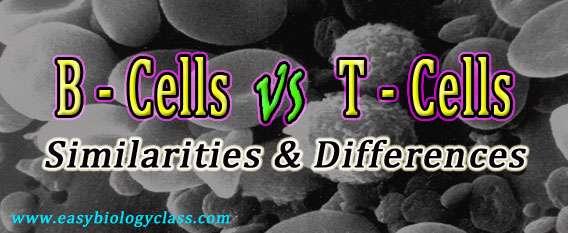 B Lymphocytes vs T Lymphocytes
