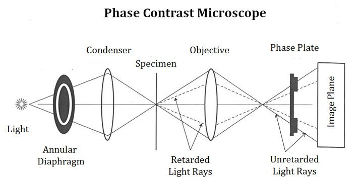 Light path in Phase contrast microscope