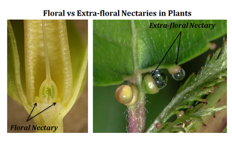 floral vs extrafloral nectaries