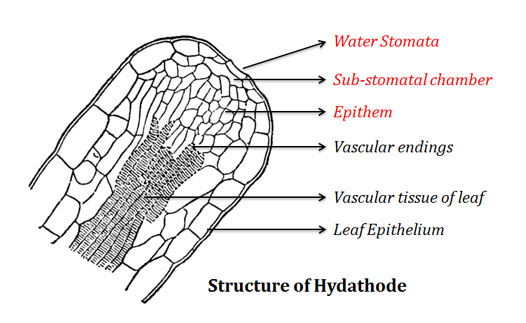 Water stomata structure