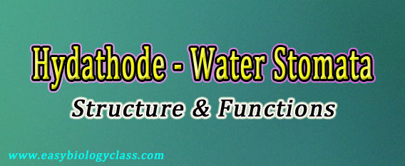 water stomata notes