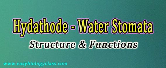 water stomata notes