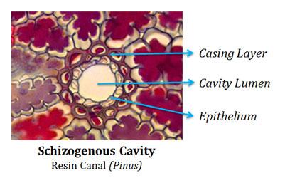 what is schizogenous cavity