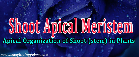 Shoot Apical Meristem Lecture Notes Easy Biology Class