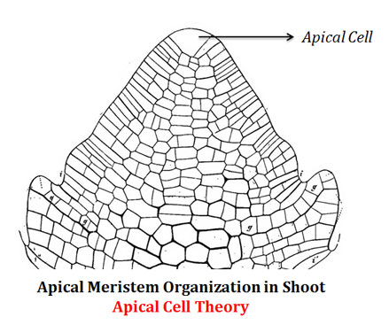 what-is-apical-cell