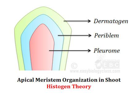 dermatogen-periblem-pleurome