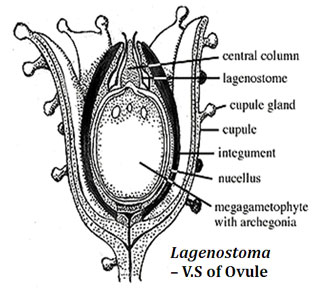 Cycadofilicales Ovule