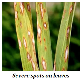loss of rice due blast disease