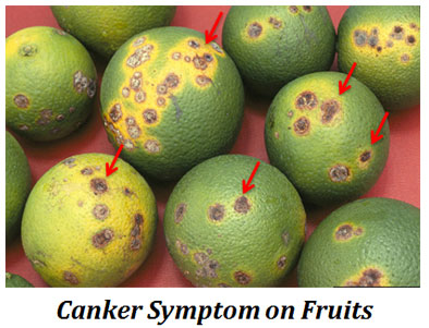 market value of citrus canker