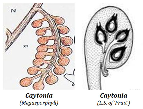 structure of caytoniales ovule