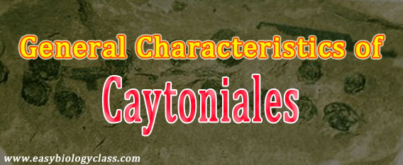 what is caytoniales