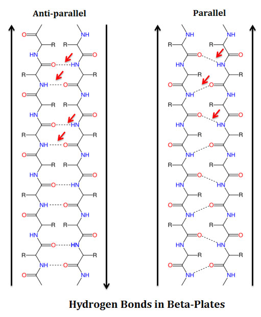 formation of hydrogen bonds in beta plates