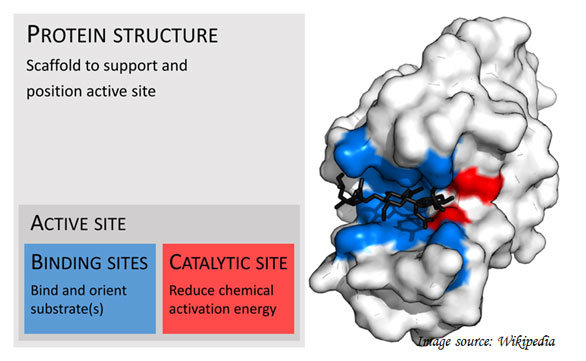 binding sites in the enzyme