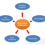 catalytic properties of enzymes