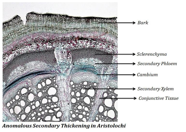 Aristolochia Secondary Thickening